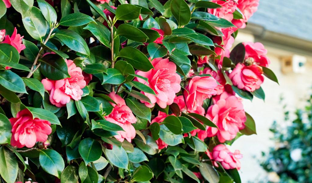 Set van 2 Japanse rozen