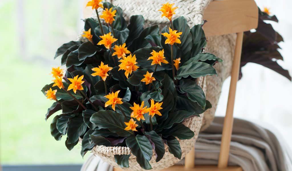Korting Kleurrijke pauwenplant